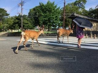 牛が通りを歩いているの写真・画像素材[3535595]