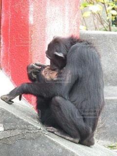 チンパンジーの親子の写真・画像素材[3536236]