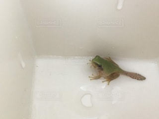 おたまじゃくし からカエルへの写真・画像素材[3536362]