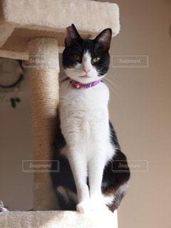 カメラを見ている猫の写真・画像素材[3543508]
