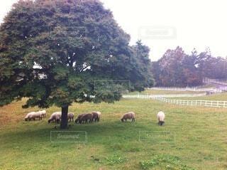 羊の群れの写真・画像素材[3619127]