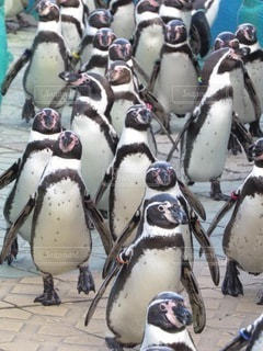 ペンギンのお散歩の写真・画像素材[3637584]
