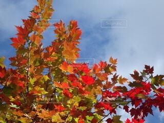 紅葉の写真・画像素材[3712957]