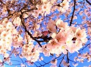 桜の写真・画像素材[3786777]