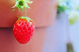 自家製イチゴの写真・画像素材[3704426]