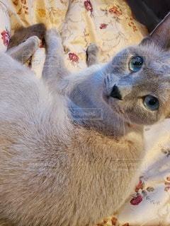 猫のクローズアップの写真・画像素材[3518569]