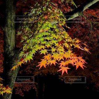 色づき紅葉の写真・画像素材[3719856]