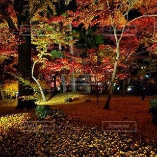 夜の紅葉の写真・画像素材[3719857]