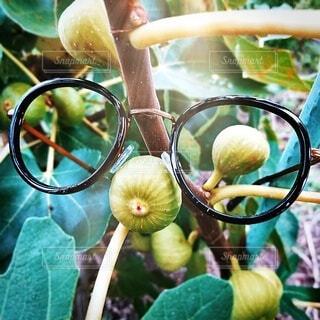 いちじくとメガネ。の写真・画像素材[3657597]