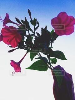 空,花,ピンク,夕暮れ,花びら,手持ち,人物,ポートレート,ライフスタイル,草木,手元,おしろい花
