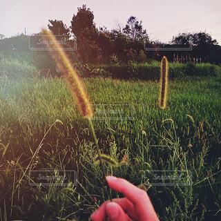 自然,空,屋外,草,手持ち,樹木,猫じゃらし,人物,ポートレート,ライフスタイル,草木,手元