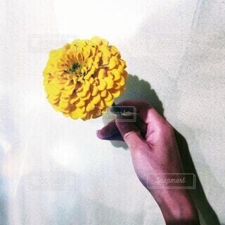花,手持ち,人物,ポートレート,ライフスタイル,百日草,手元,菊科,きく科