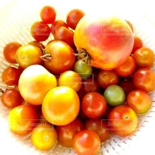 トマトが豊作です。の写真・画像素材[3667041]