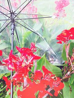 カンナと傘です。の写真・画像素材[3680226]