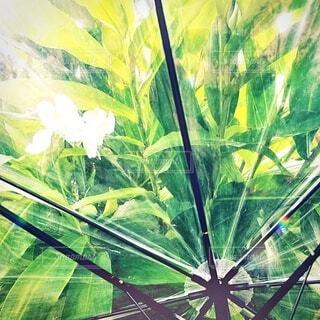 カンナと傘です。の写真・画像素材[3680300]