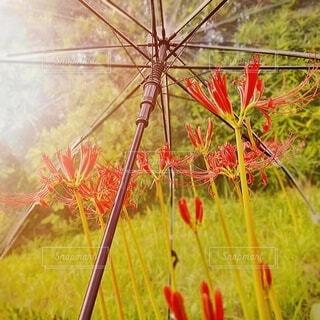 彼岸花と傘です。の写真・画像素材[3683882]