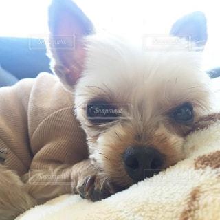 小型犬ベッドの上に座っての写真・画像素材[981329]