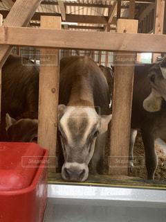 納屋に立っている牛の写真・画像素材[3533876]