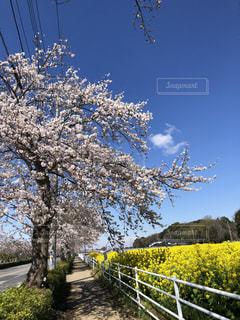 フェン桜と菜の花の写真・画像素材[3542965]