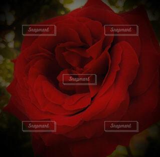 あなたに贈る薔薇の写真・画像素材[4390646]