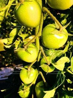 食べ物,自然,枝,トマト,野菜,食品,食材,フレッシュ,ベジタブル