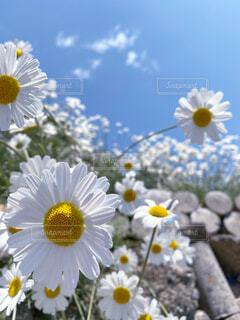 除虫菊の写真・画像素材[4423242]