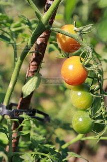 枝からぶら下がっているトマトの写真・画像素材[3665456]