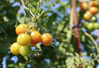 枝からぶら下がっているトマトの束の写真・画像素材[3665457]