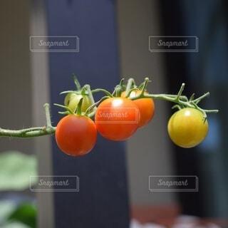 家庭菜園のトマトの写真・画像素材[3665845]