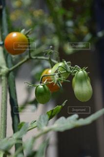 食べ物,庭,屋外,緑,赤,黄色,家,トマト,野菜,ミニトマト,外,食品,家庭菜園,みどり,ひょうたん,黄,プチトマト,食材,フレッシュ,ベジタブル,瓢箪
