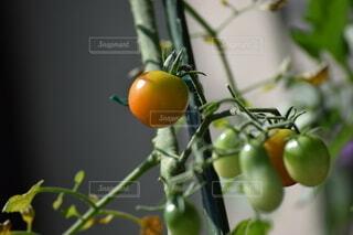食べ物,庭,屋外,緑,赤,家,トマト,野菜,ミニトマト,外,食品,家庭菜園,みどり,食材,フレッシュ,ベジタブル
