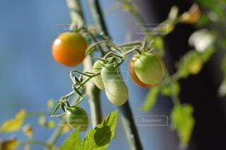 家庭菜園のトマトの写真・画像素材[3665856]