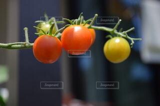 家庭菜園のトマトの写真・画像素材[3665859]