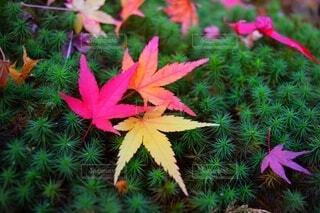 緑の葉のピンクの花のグループの写真・画像素材[3802039]