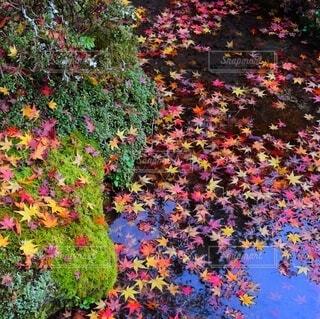 水に浮かぶ紅葉の写真・画像素材[3868347]