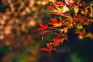 ライトアップされた紅葉の写真・画像素材[3868346]