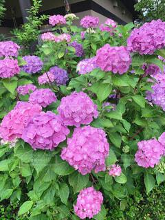 花,屋外,ピンク,紫陽花,梅雨,草木,フローラ