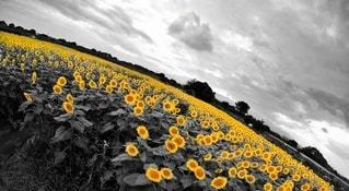 ひまわり畑 黄色強調の写真・画像素材[3573403]