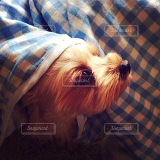 カメラを見て茶色と白犬 - No.974060