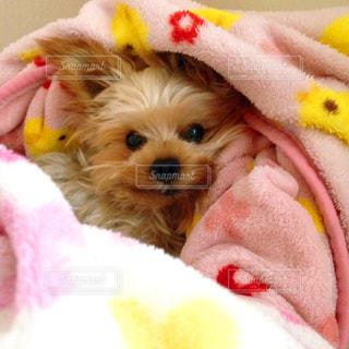 黄色のぬいぐるみを着て犬の写真・画像素材[974069]