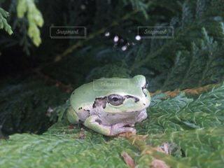 草の上に座っているカエルの写真・画像素材[3597679]