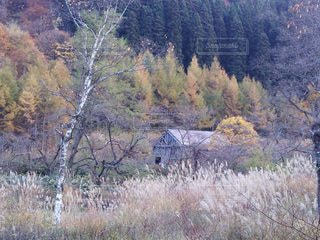 白樺と小屋の写真・画像素材[3597681]