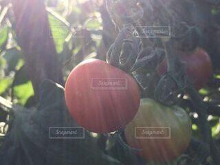 食べ物,赤,日光,トマト,野菜,ミニトマト,食品,畑,食材,フレッシュ,ベジタブル,旬の野菜