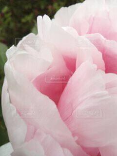優しい花びらの写真・画像素材[4245907]