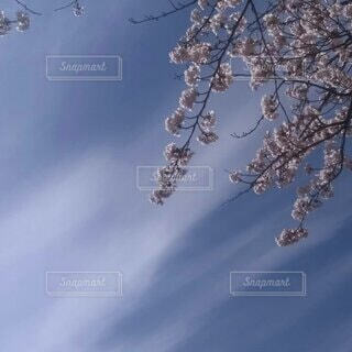 春の青空にの写真・画像素材[4285155]