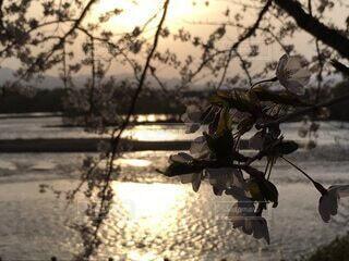 夕日と川と桜の融合の写真・画像素材[4331936]