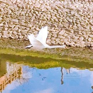 飛んでる白鳥の写真・画像素材[3608883]
