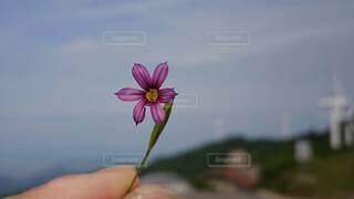 花,ピンク,風車,手持ち,草木,手元