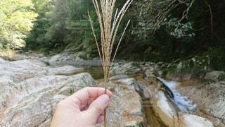 秋,川,手持ち,ススキ,人物,渓流,草木,手元