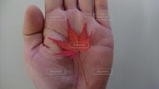 秋,紅葉,手,手持ち,人物,手元,カエデ